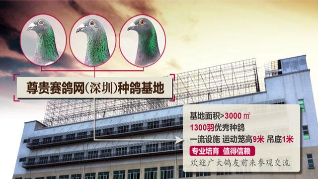 尊贵赛鸽网(深圳)种鸽基地