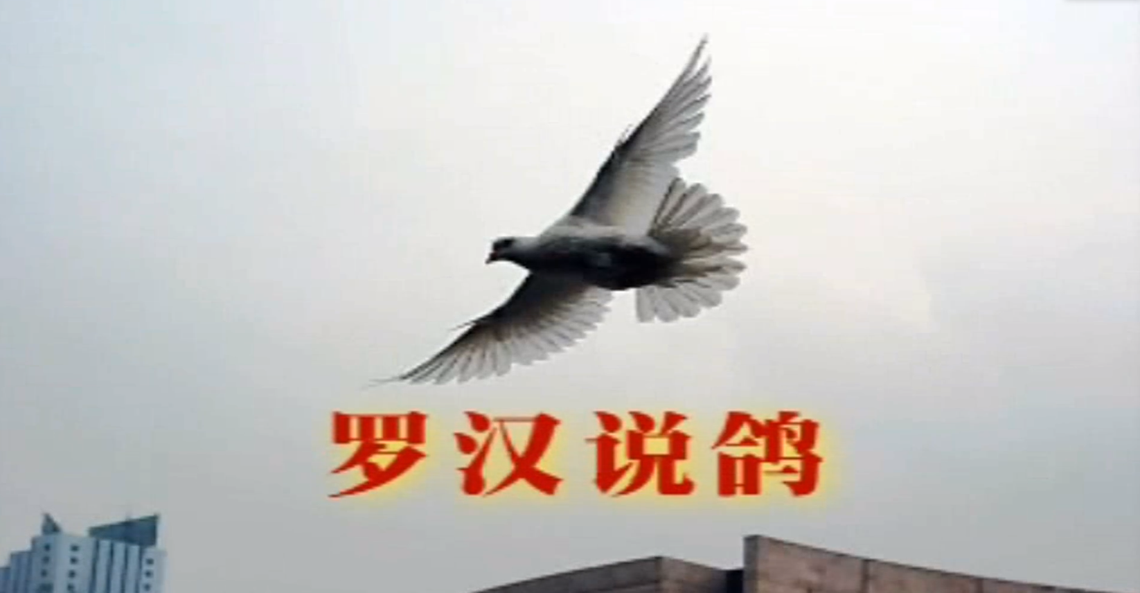罗汉说鸽  第一期 (二)