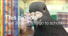 """震惊!鸽子飞行563km来""""上学"""""""