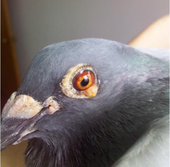 鸽子新城疫的治疗_鸽痘的预防以及治疗