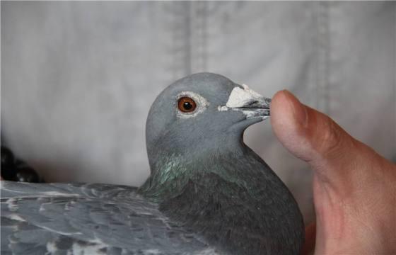为什么说不是鸽王的鸽子不进棚?