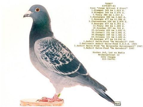 sony pigeon.jpg
