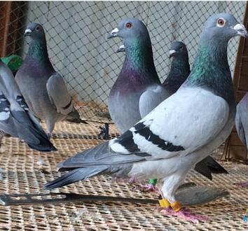 怎么预防鸽子训放比赛期间疾病的交叉感染?_赛鸽网